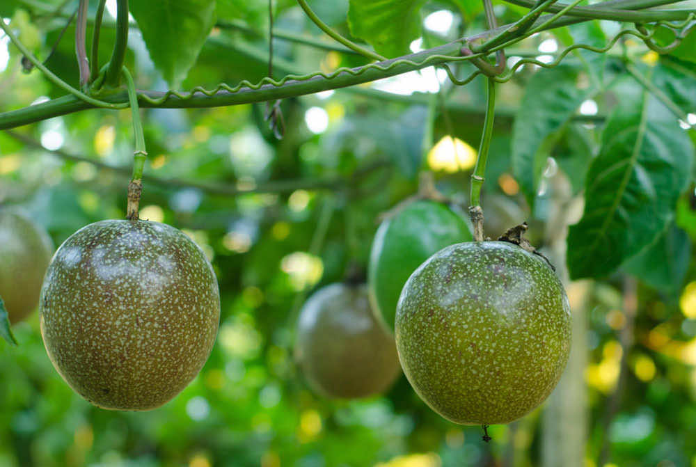Fresh passion fruit exported from Vietnam is favored by many countries (Photo source: Worker)